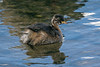 Little Grebe 6 juv