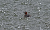 Little Grebe in the rain Merseyside July 2013