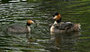 Great Crested Grebe feeding young on parent's back 1