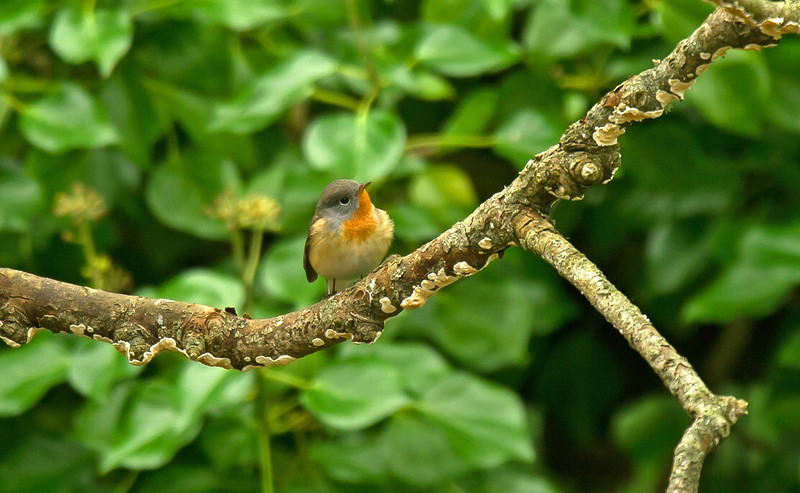 Red-breasted Flycatcher St. Agnes 2011