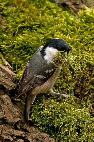 Coal Tit with nest material
