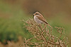 Red-backed Shrike Peninnis 2005