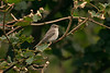 Spotted Flycatcher 3