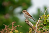 Red-backed Shrike Peninnis 2008