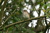 Spotted Flycatcher 1