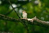 Spotted Flycatcher 2