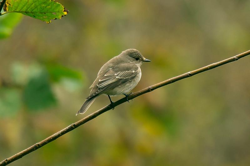 Spotted Flycatcher 4