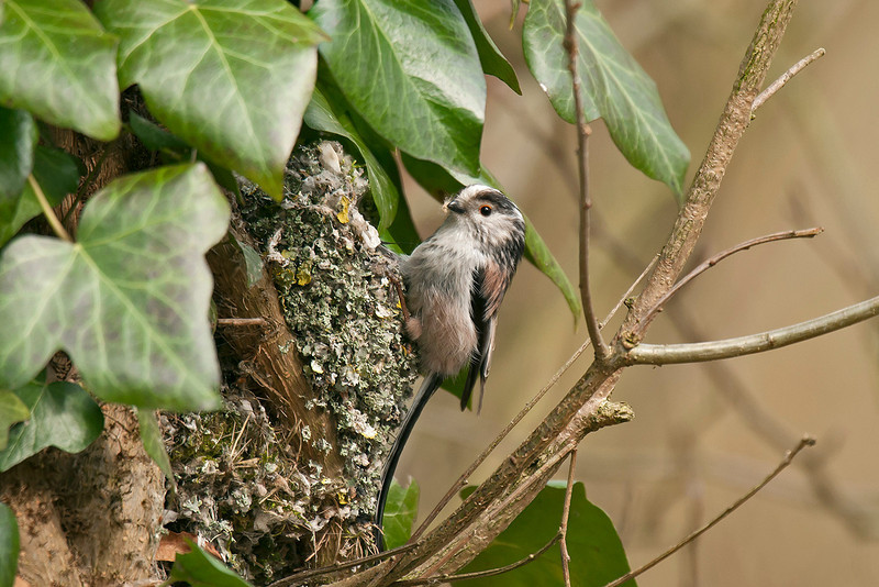 Long-tailed Tit 6