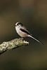 Long-tailed Tit 2