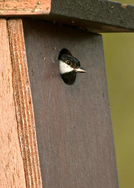 Great Tit at nest box