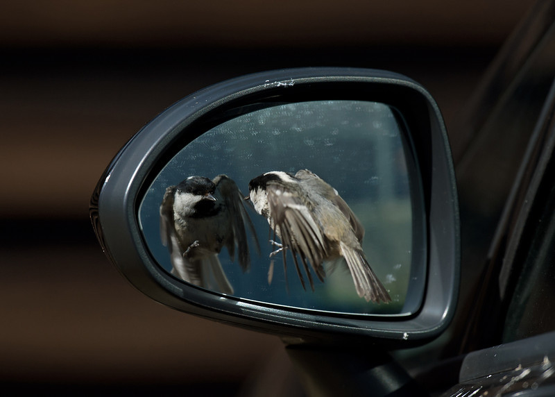 Coal Tit reflection 1