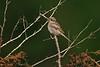 Woodchat Shrike Carn Vean 2007