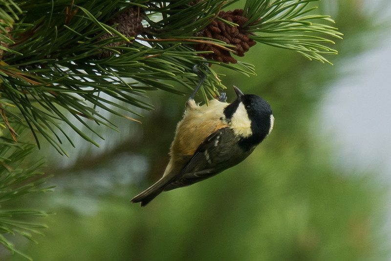 Coal Tit (irish race) 1 Bryher 2012