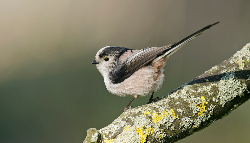 Long-tailed Tit 4