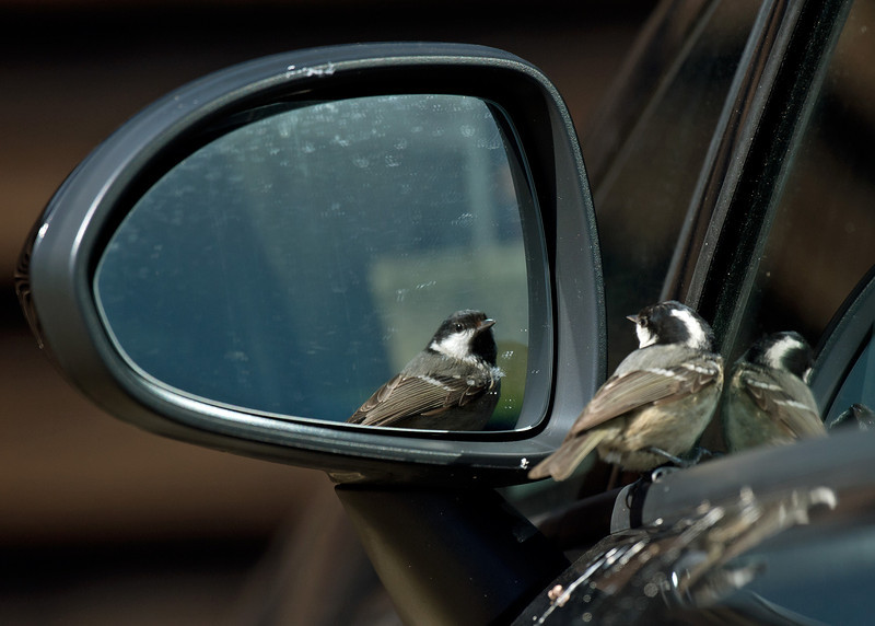 Coal Tit reflection 2