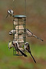 Long-tailed Tit 5