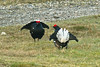 Black Grouse 5