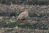 Red-legged Partridge 3
