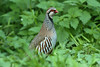 Red-legged Partridge 1