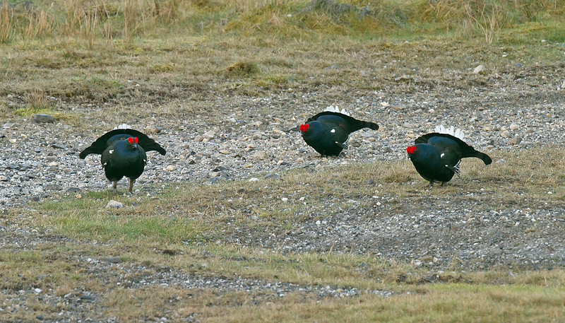 Black Grouse 1