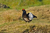 Black Grouse 3