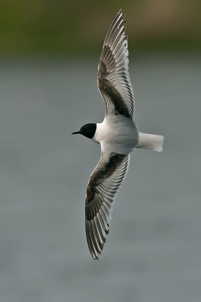 Little Gull 1st summer with complete hood, Seaforth May 2012