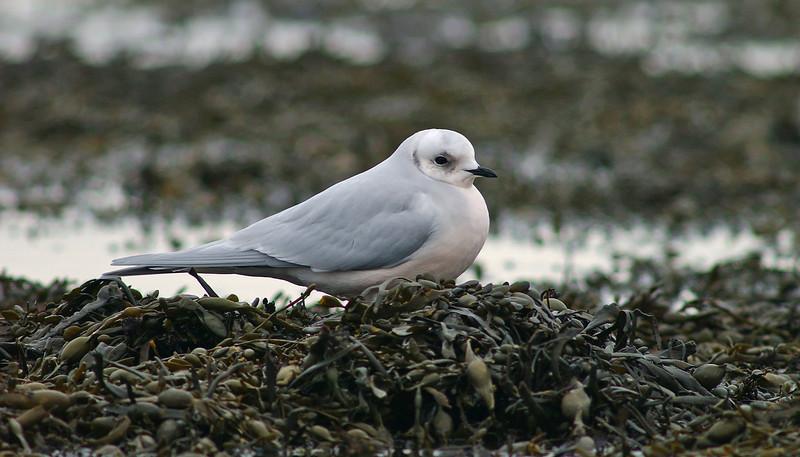 Ross's Gull 2 Fraserburgh February 2005