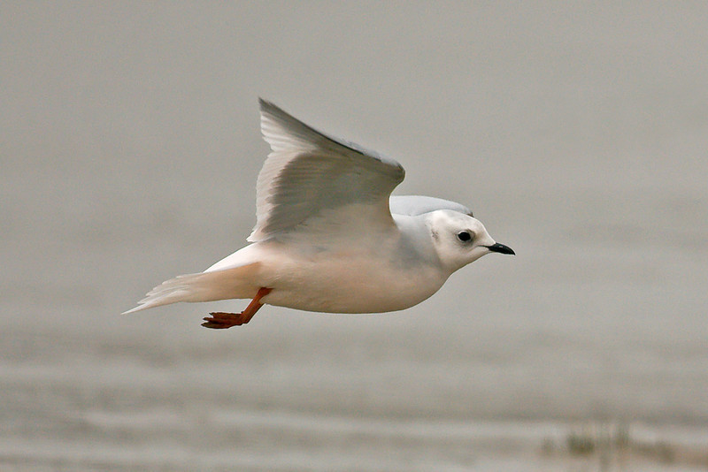 Ross's Gull 8 Fairhaven April 2008