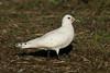 Ivory Gull 3 Patrington December 2013