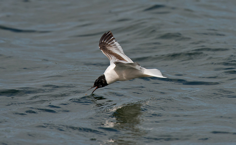 Little Gull 1st summer a, Seaforth April 2012