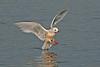 Ross's Gull 2 Marton Mere 2008
