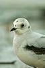Ross's Gull 3 Loch Caolisport December 2006