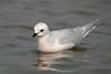 Ross's Gull 11 Fairhaven April 2008