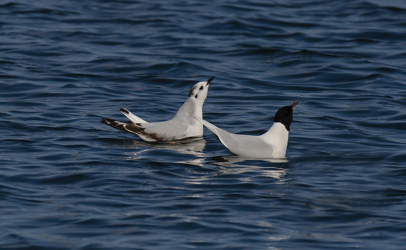 Little Gulls: adult and 1st year displaying, Seaforth April 2012