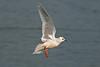 Ross's Gull 3 Marton Mere 2008
