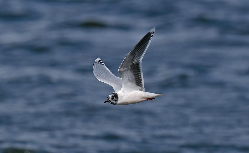 Little Gull 2nd summer c Seaforth April 2012