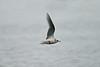 Ross's Gull 1 Fraserburgh February 2005