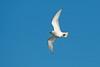 Ivory Gull 2 Patrington December 2013