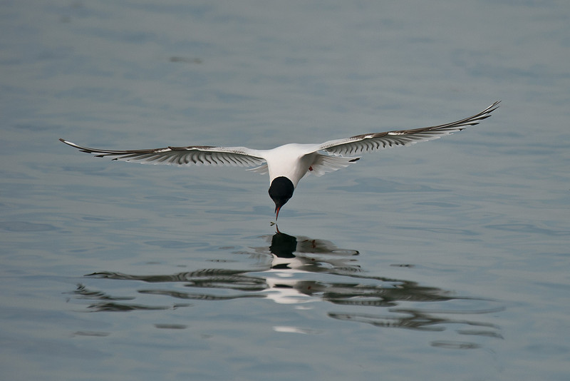 Little Gull 1st summer b, Seaforth April 2012