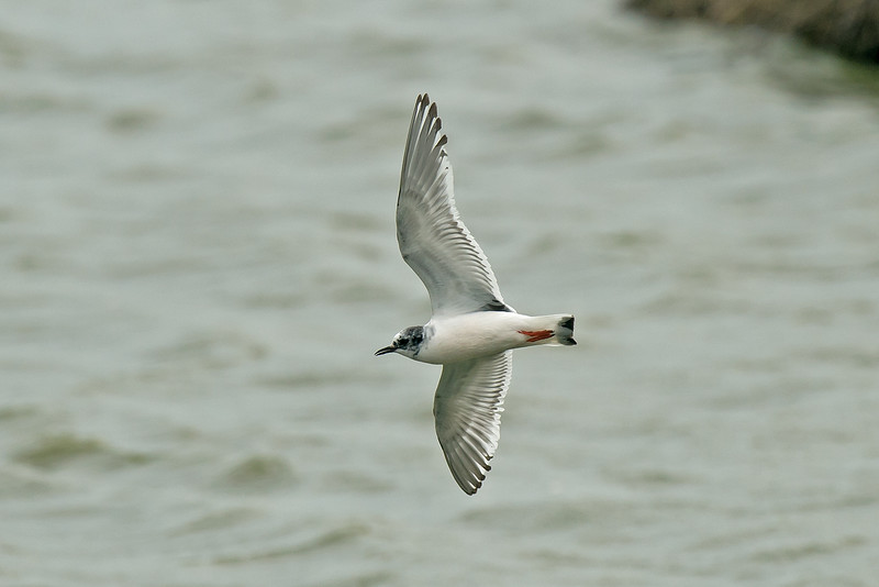 Little Gull 1st summer c Marshside RSPB May 2016