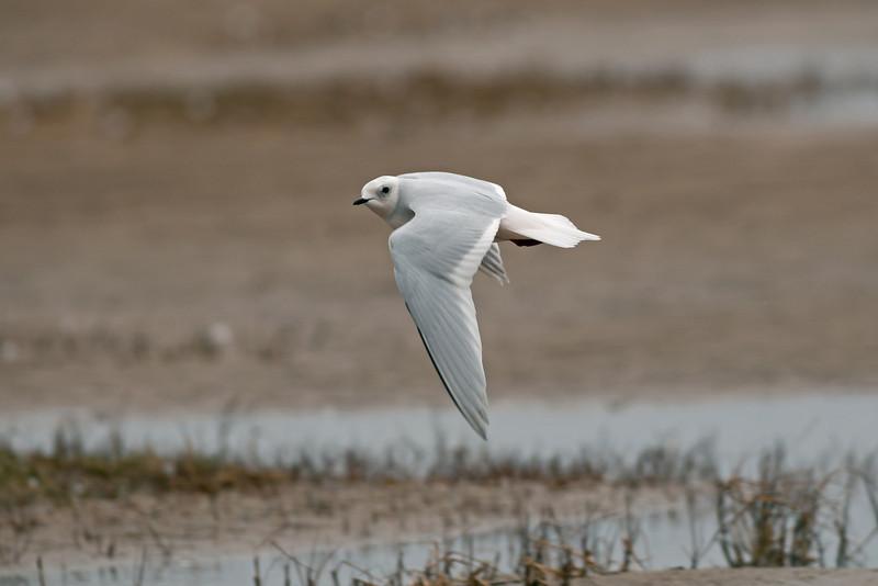 Ross's Gull 12 Fairhaven April 2008