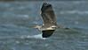 Grey Heron 8
