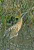 Bittern 3, Mere Sands Wood, Lancs, Feb 2012