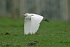Cattle Egret 4