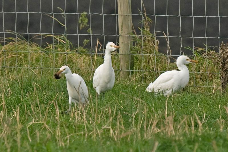 Cattle Egret 7