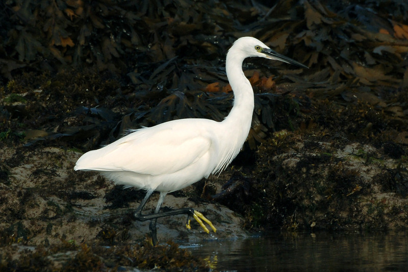 Little Egret 1