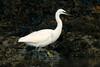 Little Egret 1