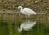 Little Egret 4