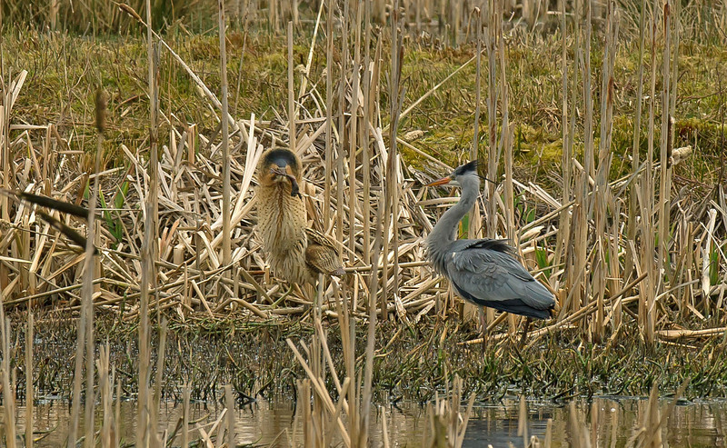 Bittern with frog in threat display to Grey Heron, Mere Sands Wood, Lancs, Feb 2012
