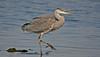 Grey Heron 6